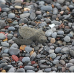 亀が石を食べる?誤飲の原因と対処法