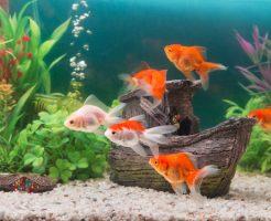 金魚 亀 共存