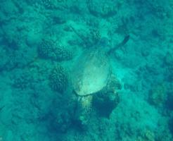 ハワイ ウミガメ 種類