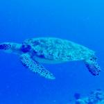 世界中の海に生息するウミガメ!種類は?