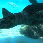 ウミガメの種類!日本で見れるのは!?