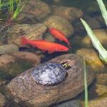 ミドリガメの混泳飼育!熱帯魚と混泳はできる!?