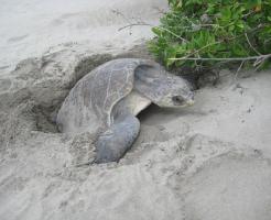 ウミガメ 産卵 時期 場所
