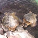 ウミガメの性別を見分ける方法について!