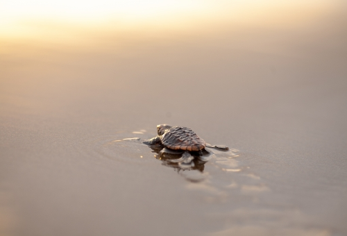 ウミガメ 赤ちゃん 捕食 生存率