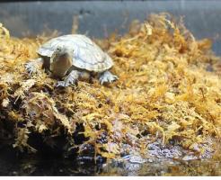 カメ 産卵 水苔