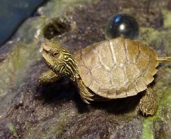 亀 卵 産む 孵化