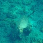 ハワイで見れるウミガメの種類は?何がいる!?