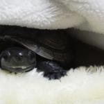 クサガメの幼体の飼育方法!冬眠させていいの?