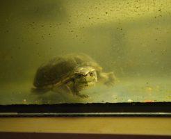 ミシシッピニオイガメ 水 汚れ