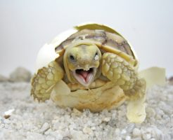 ケヅメリクガメ 飼育 ケージ