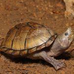 カブトニオイガメの平均寿命ってどれくらい!?