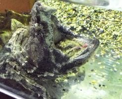 ワニガメ 噛む力 kg
