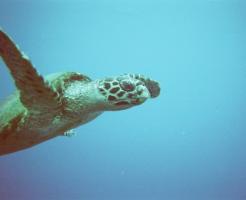 ウミガメ 絶滅 影響