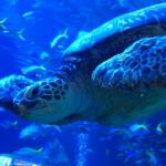 日本でウミガメに会える水族館はどこ!?