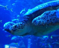 ウミガメ 日本 水族館