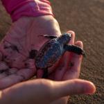 ウミガメの放流会の時期や問題について!